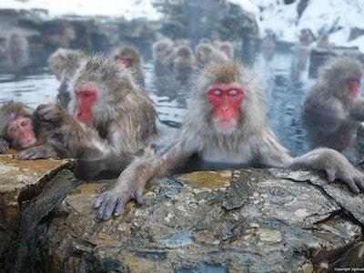 Wild Monkeys in Hakuba